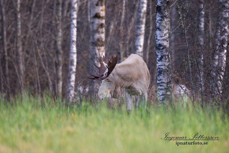 vit_alg_ipnaturfoto_se_varmland_va214