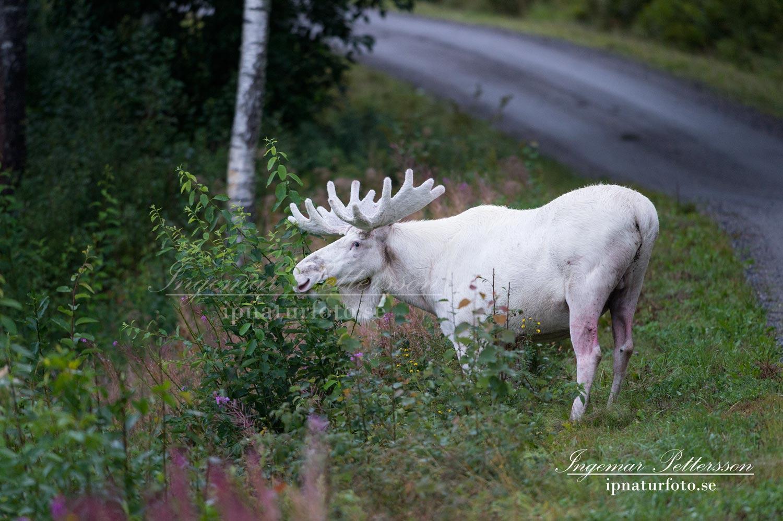 vit_alg_ipnaturfoto_se_whitemoose_sweden_va246