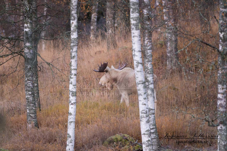 vit_alg_ipnaturfoto_varmland_va126
