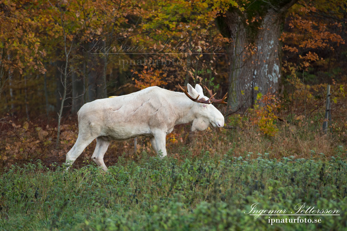 vit_alg_leucism_albino_spirit_moose_vitalg_whitemoose_elch_alces_ingemar_pettersson_bohuslan_va345