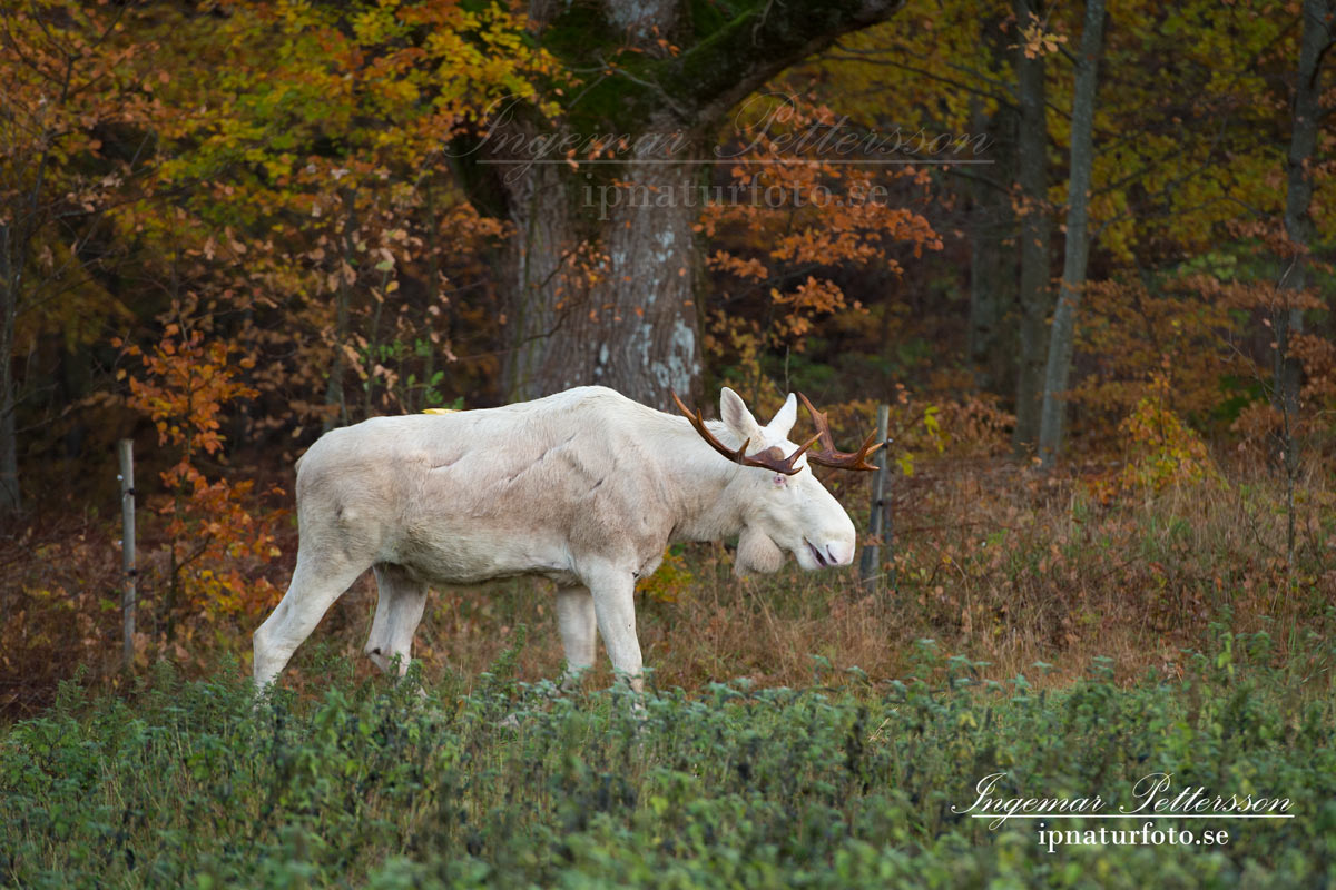vit_alg_leucism_albino_spirit_moose_vitalg_whitemoose_elch_alces_ingemar_pettersson_bohuslan_va346