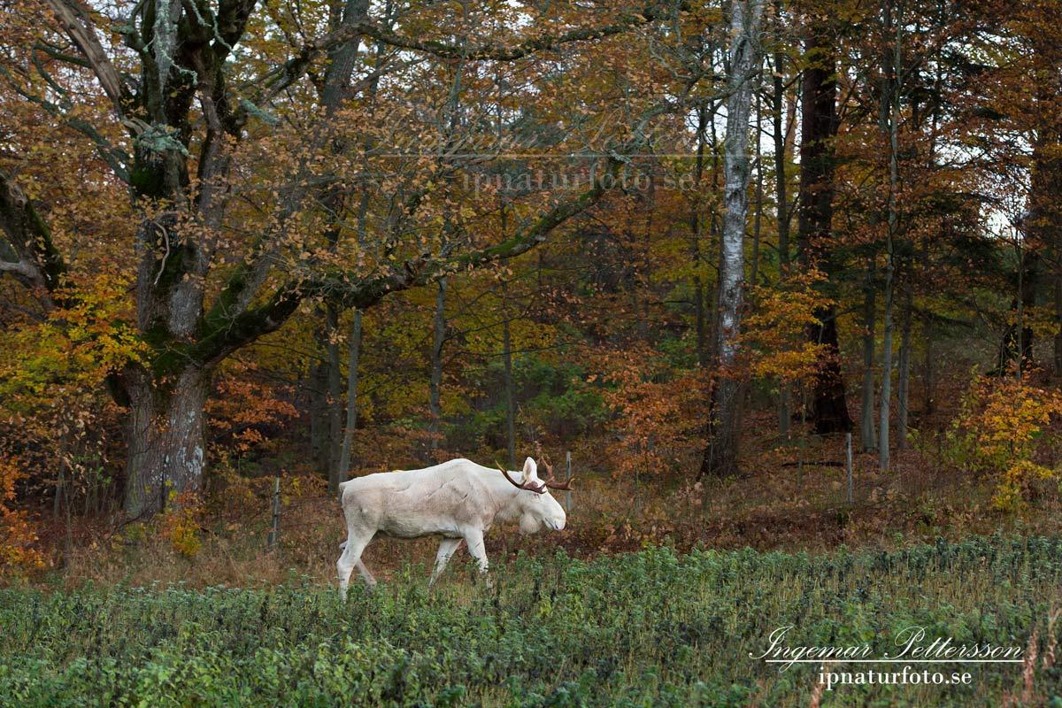 vit_alg_leucism_albino_spirit_moose_vitalg_whitemoose_elch_alces_ingemar_pettersson_bohuslan_va347