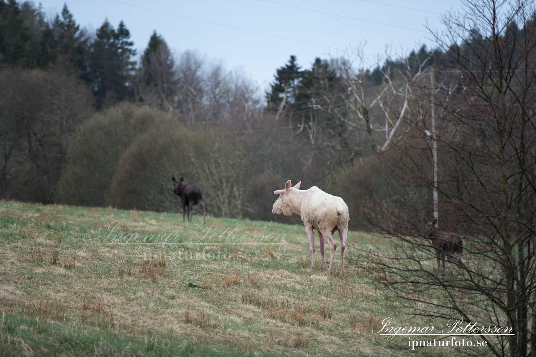 vit_alg_leucism_albino_spirit_moose_vitalg_whitemoose_elch_alces_ingemar_pettersson_bohuslan_va361