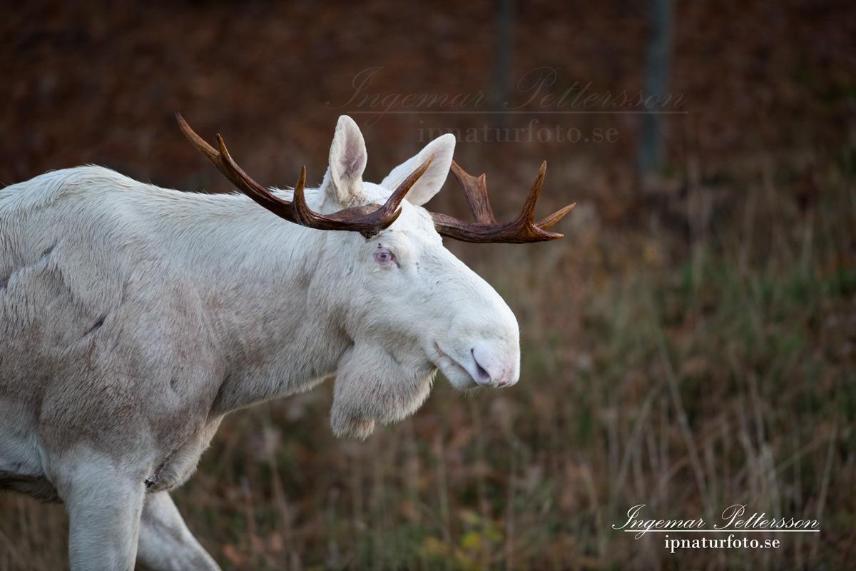 vit_alg_moose_white_moose_sago_alg_ipnaturfoto_va339