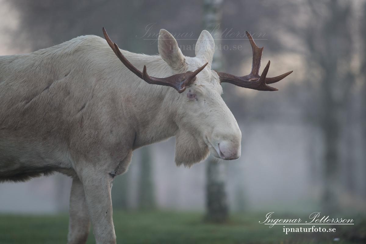 vit_alg_moose_white_moose_sago_alg_ipnaturfoto_va341