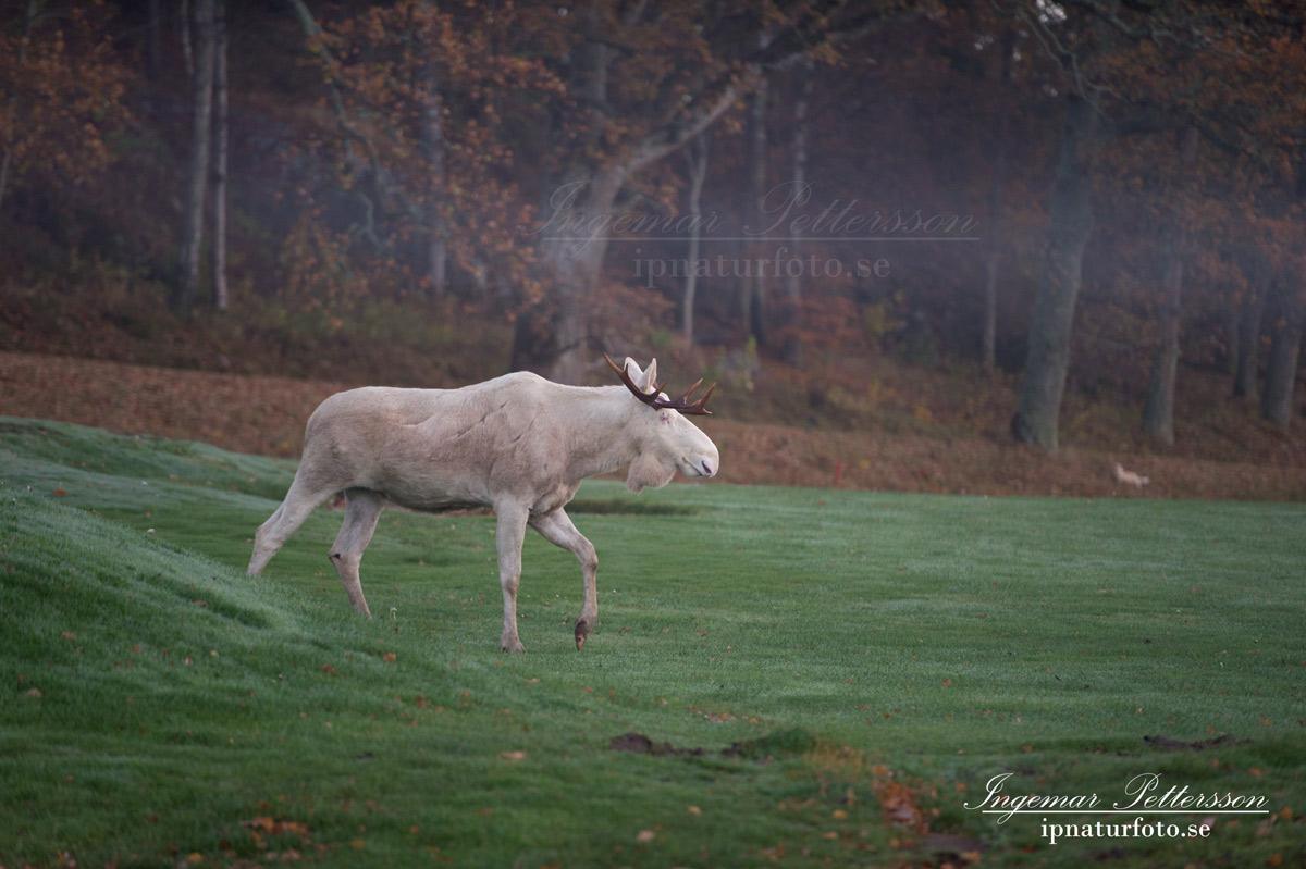 vit_alg_spirit_moose_fairway_white_moose_ingemar_pettersson_tjur_ipnaturfoto_se_golf_green_torreby_golf_player_va354