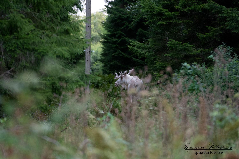 vit_alg_spirit_moose_white_moose_algjakt_ledningsgata_tjur_ipnaturfoto_se_va457