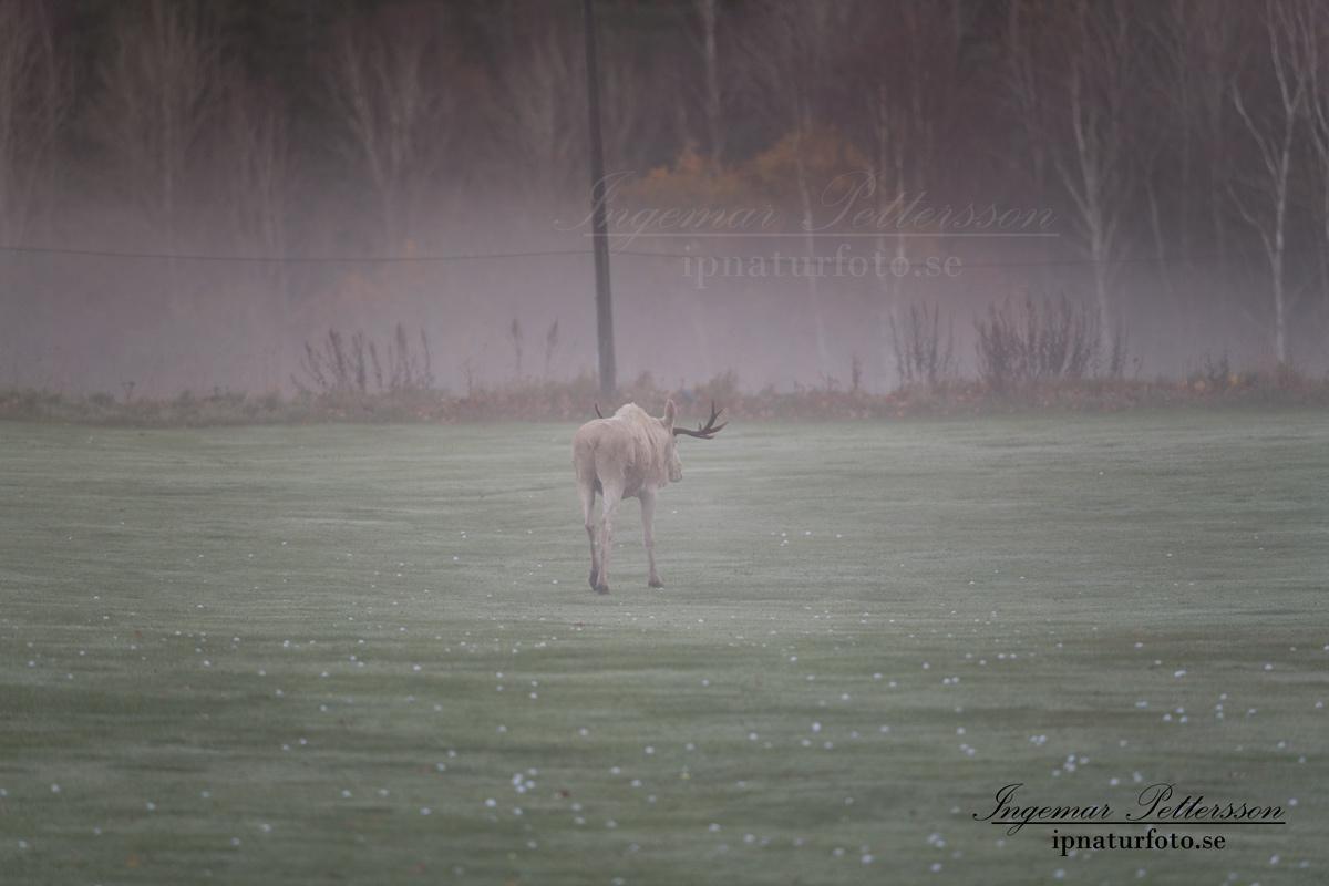 vit_alg_spirit_moose_white_moose_ingemar_pettersson_tjur_ipnaturfoto_se_golf_drivingrange_torreby_golf_player_va343