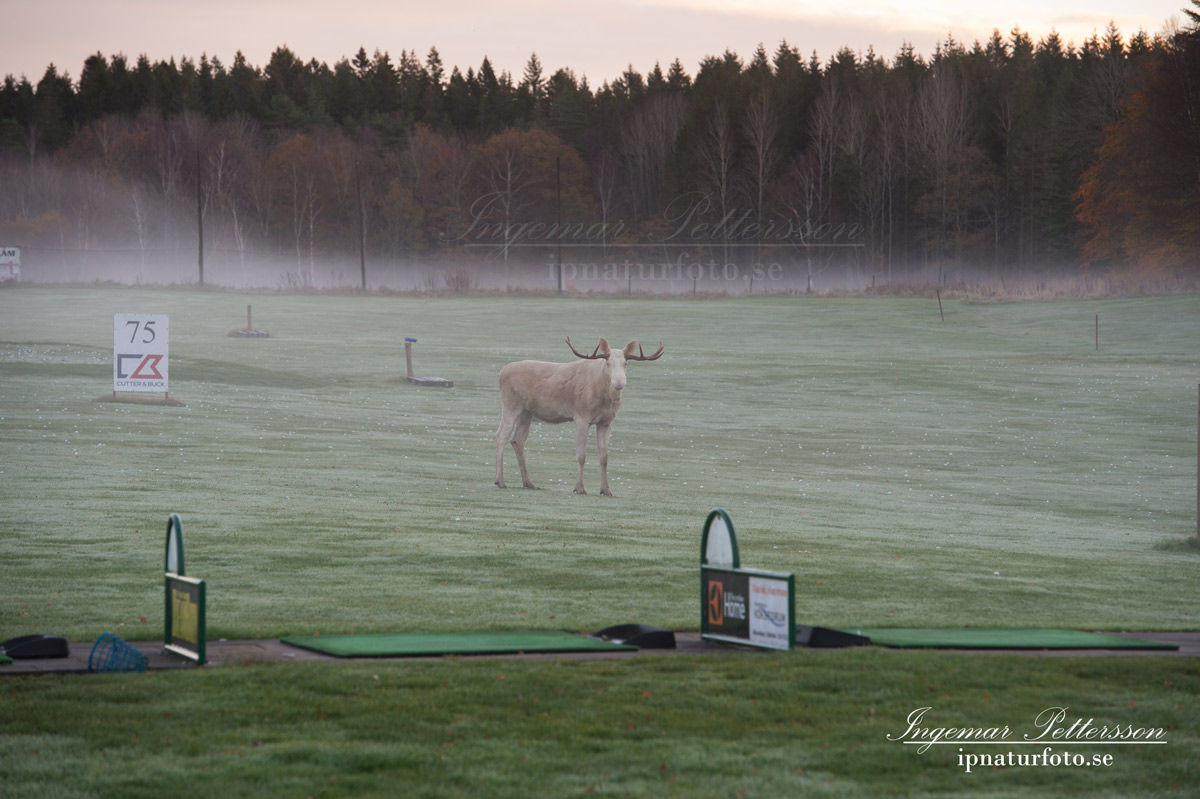vit_alg_spirit_moose_white_moose_ingemar_pettersson_tjur_ipnaturfoto_se_golf_drivingrange_torreby_golf_player_va355