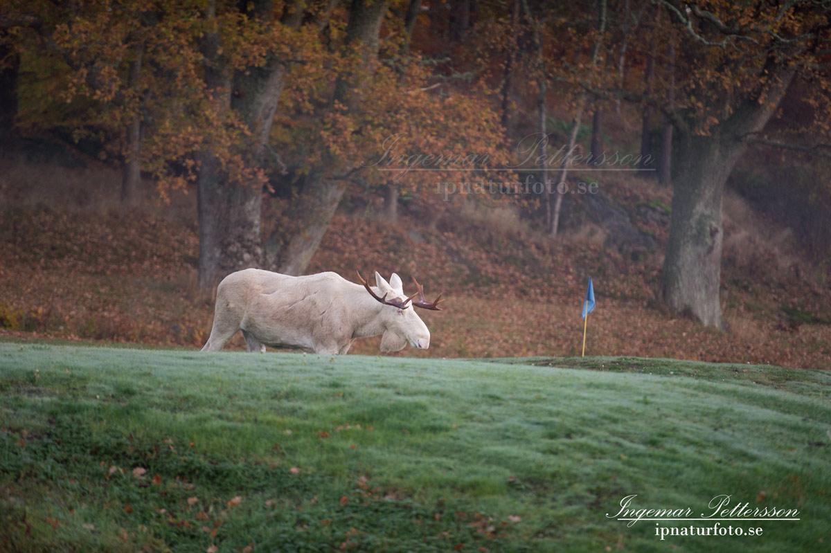 vit_alg_spirit_moose_white_moose_ingemar_pettersson_tjur_ipnaturfoto_se_golf_green_torreby_golf_player_va352