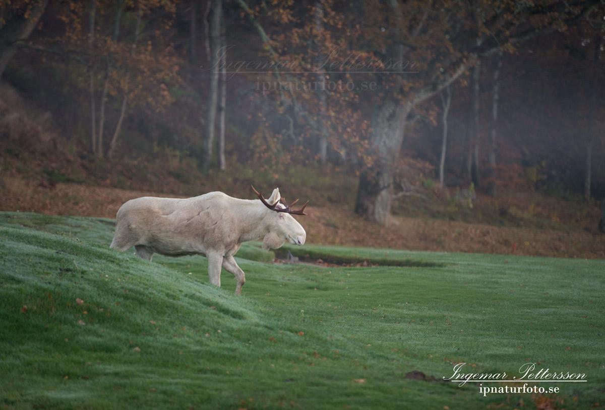 vit_alg_spirit_moose_white_moose_ingemar_pettersson_tjur_ipnaturfoto_se_golf_green_torreby_golf_player_va353