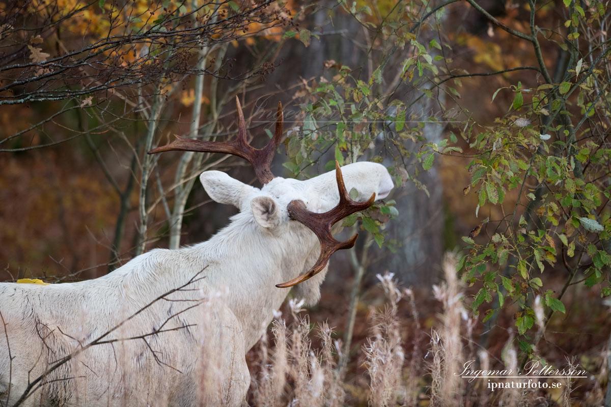 vit_alg_spirit_moose_white_moose_ingemar_pettersson_tjur_ipnaturfoto_se_va335