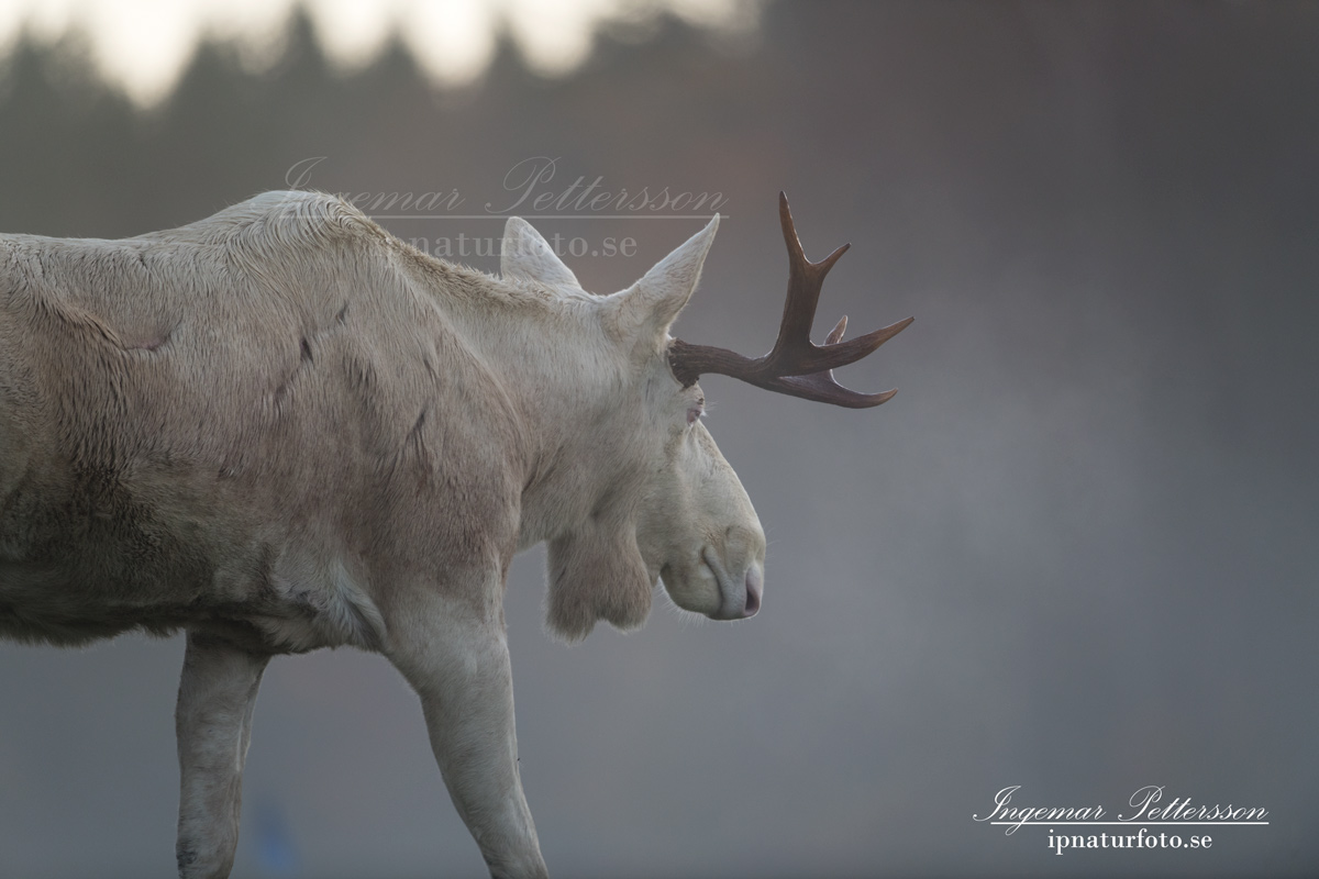 vit_alg_spirit_moose_white_moose_ingemar_pettersson_tjur_ipnaturfoto_se_va342