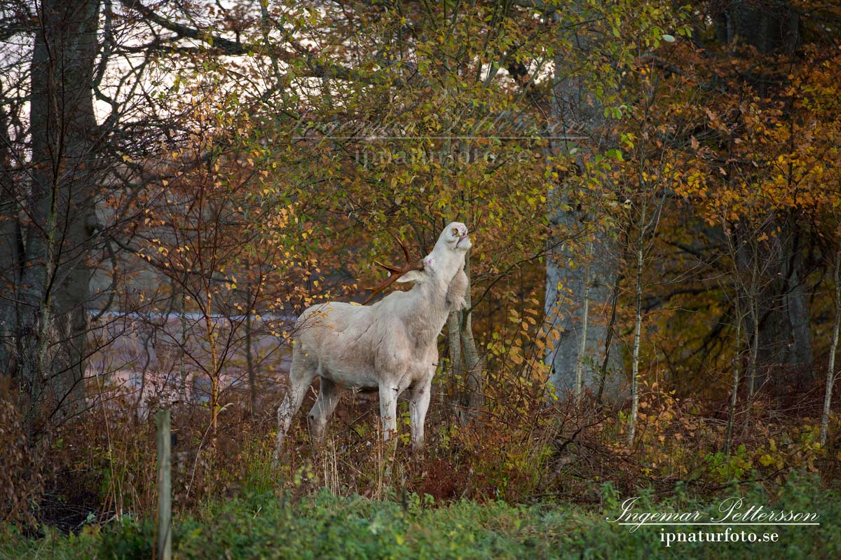 vit_alg_spirit_moose_white_moose_ingemar_pettersson_tjur_ipnaturfoto_se_va344