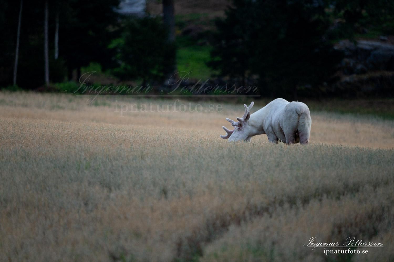 vit_alg_spirit_moose_white_moose_lantbruk_tjur_ipnaturfoto_se_va444