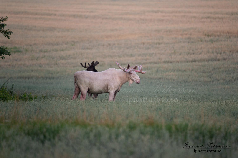 vit_alg_unicorn_white_moose_weißer_Elch_Sverige_naturfoto_ipnaturfoto_se_va425