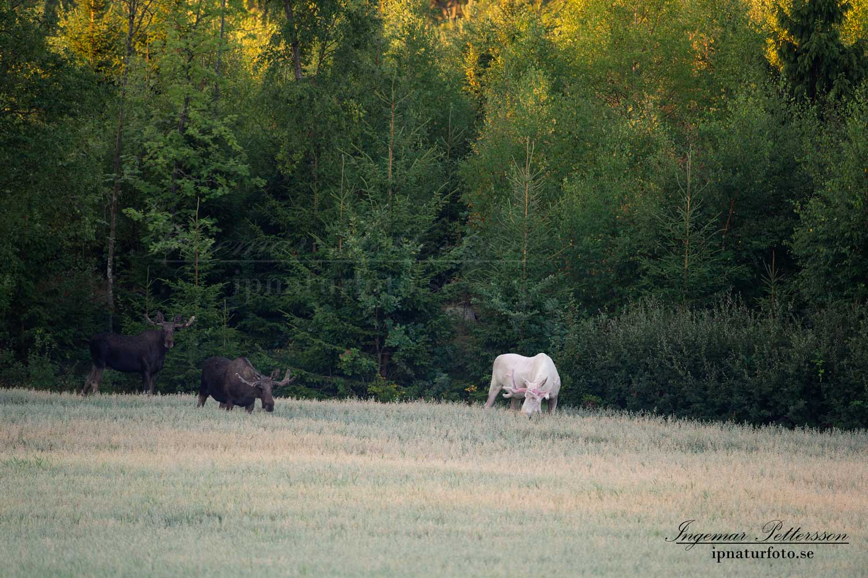 vit_alg_unicorn_white_moose_weißer_Elch_Sverige_naturfoto_ipnaturfoto_se_va431