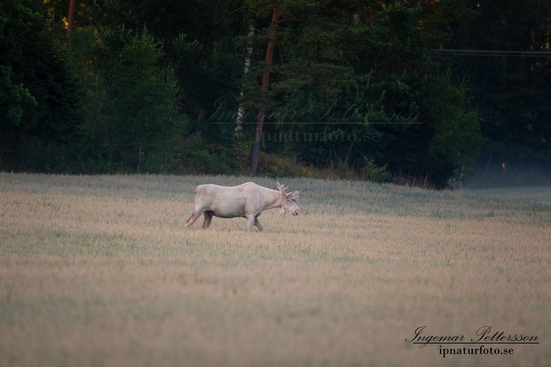 vit_alg_unicorn_white_moose_weißer_Elch_Sverige_naturfoto_ipnaturfoto_se_va432