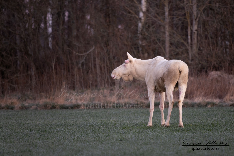 vit_alg_white_moose_elch_spirit_moose_jakt_leucism_albino_ipnaturfoto_se_va478