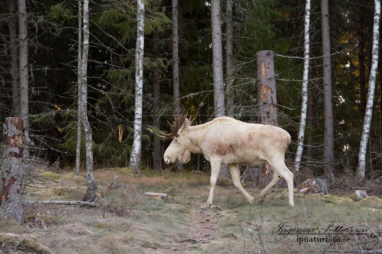 vit_alg_white_moose_ingemar_pettersson_ipnaturfoto_se_va269