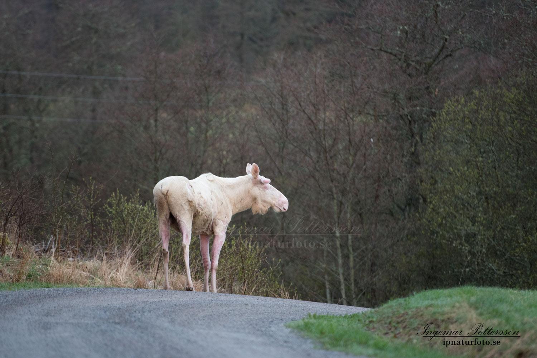 vitalg_elch_whitemoose_white_moose_alces_leucism_albino_ipnaturfoto_se_va404