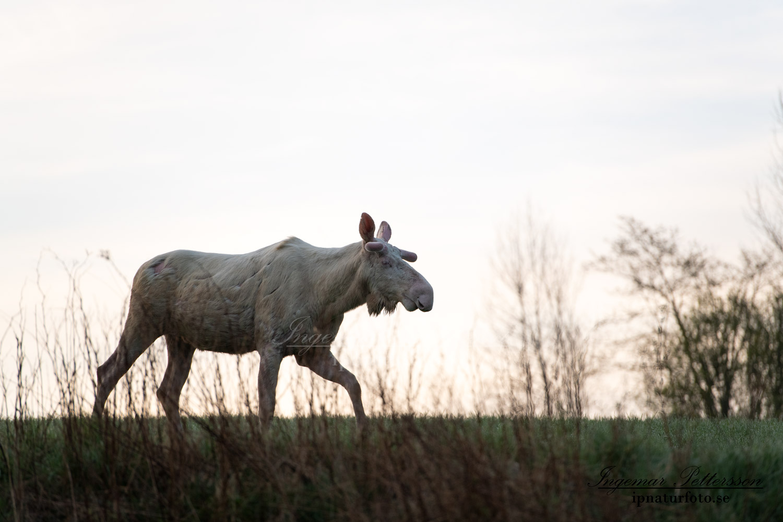 weißer_Elch_vitalg_vit_alg_white_moose_unicorn_ingemar_pettersson_va417