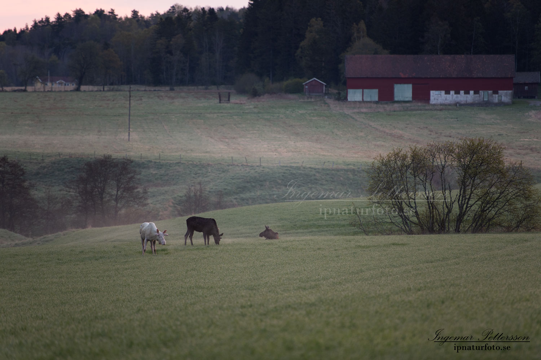 weißer_Elch_white_moose_vit_alg_jordbrukslandskap_dimma_ipnaturfoto_seva416