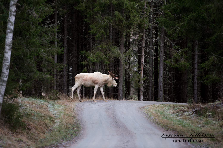 white_moose_elch_ipnaturfoto_se_vit_alg_va265