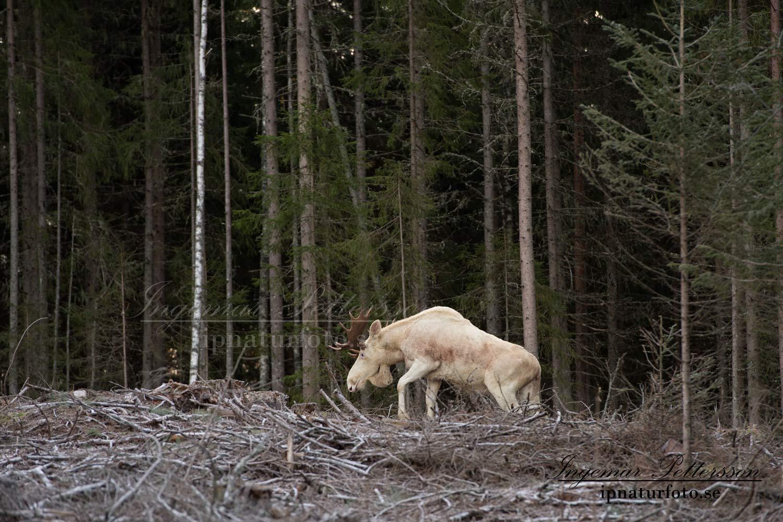white_moose_elch_vit_alg_ipnaturfoto_se_va267