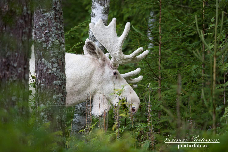 white_moose_spirit_moose_elch_vitalg_vit_alg_ingemar_pettersson_va317