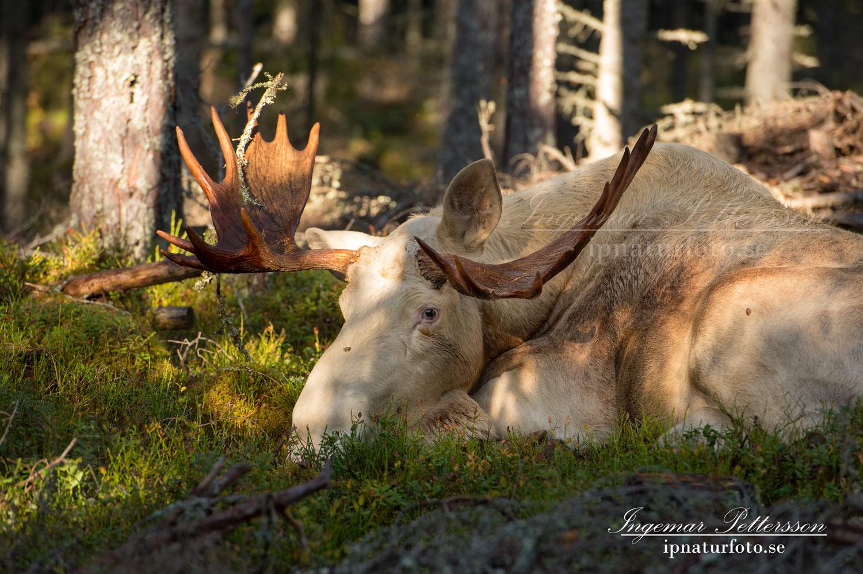 white_moose_spirit_moose_vit_alg_elch_weiben_ipnaturfoto_se_ingemar_pettersson_va293