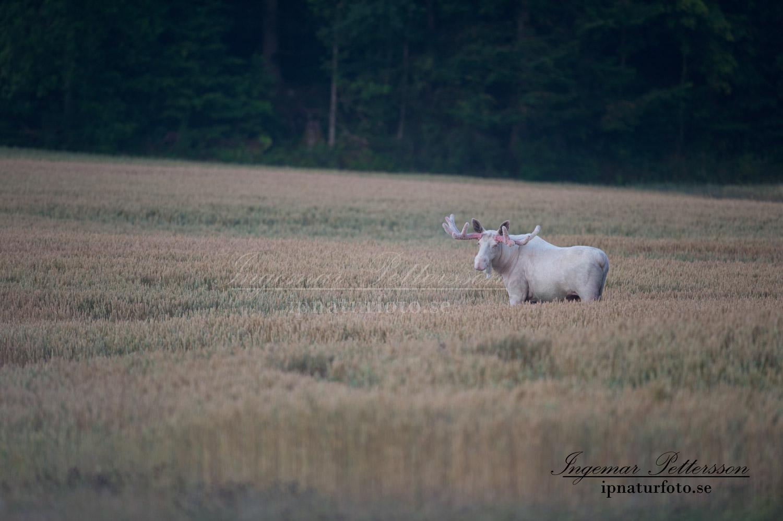 white_moose_spiritmoose_spirit_moose_leucism_jakt_natur_elch_ingemar_pettersson_va309