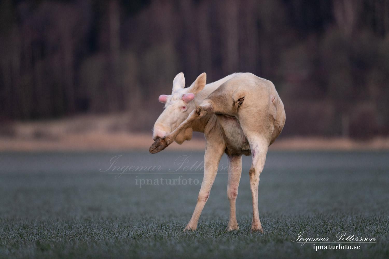 white_moose_vit_alg_elc_leucism_unik_ferdinand_hunting_ipnaturfoto_se_va468