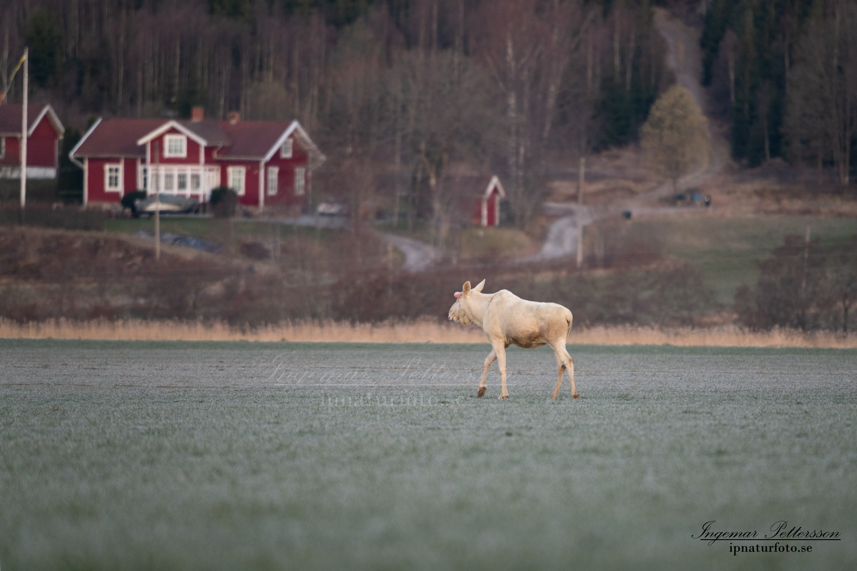 white_moose_vit_alg_ipnaturfoto_se_leucism_albino_va471