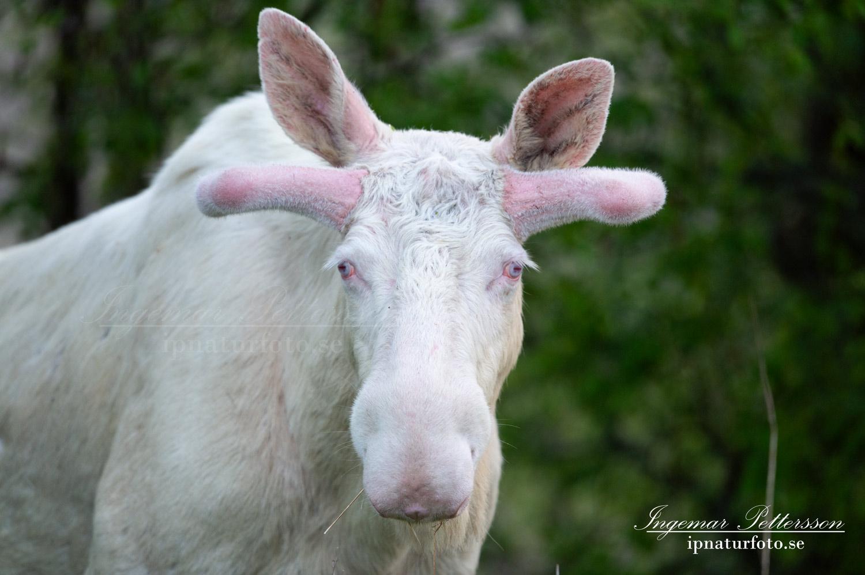 white_moose_vit_alg_leucism_albino_vitalg_whitemoose_ferdinand_sagoalg_unicorn_ipnaturfoto_se_va486
