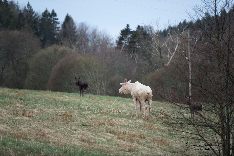 white_moose_vit_alg_leucism_spirit_moose_ipnaturfoto_se_tjur_va405