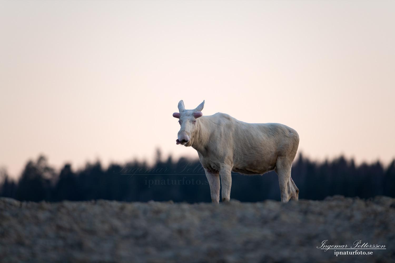 white_moose_whitemoose_vitalg_vit_alg_algtjur_leucism_ipnaturfoto_se_va472