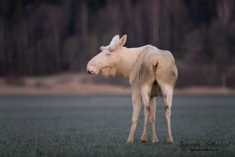 whitemoose_white_moose_vitalg_vit_alg_leucism_albino_unik_unicorn_ingemar_pettersson_va469